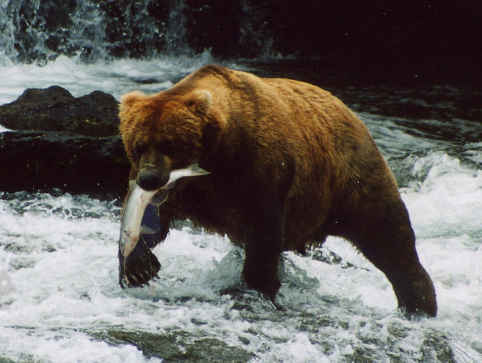 Awed by the Claws:  a day in bear country King Salmon Alaska United States