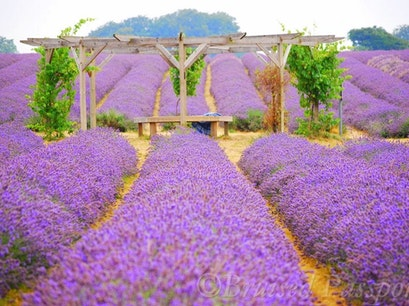 Mayfield Lavender Farm Banstead  United Kingdom