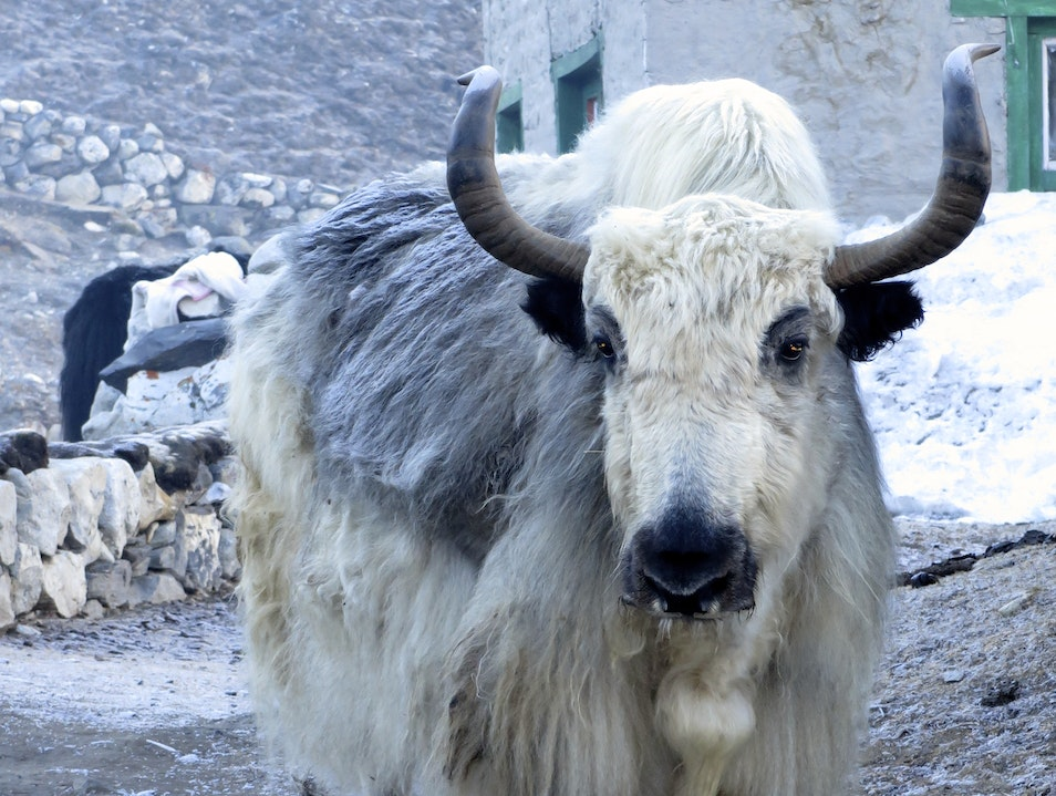 Early Morning Yak Encounter Khumjung  Nepal