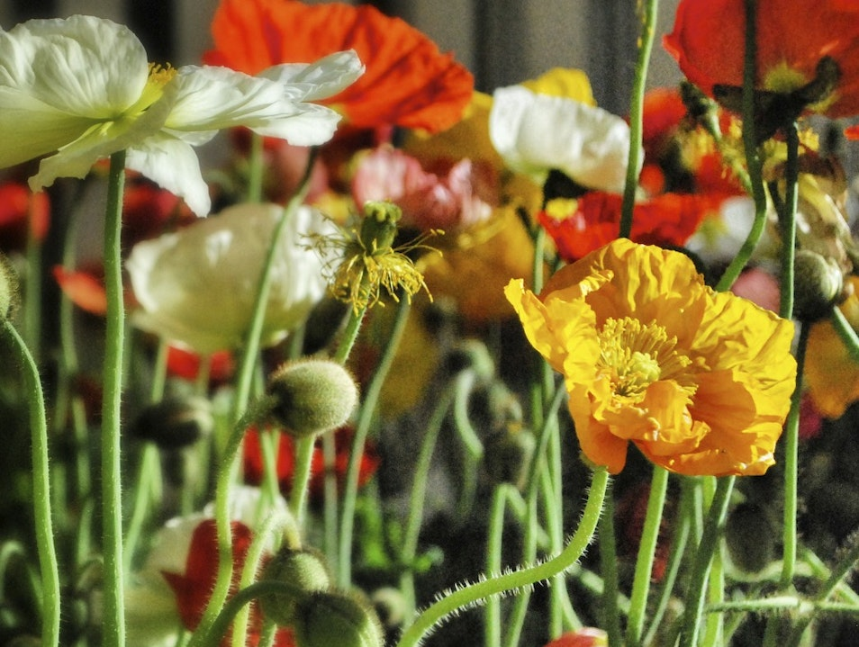 Poppies in the Conservatory Las Vegas Nevada United States