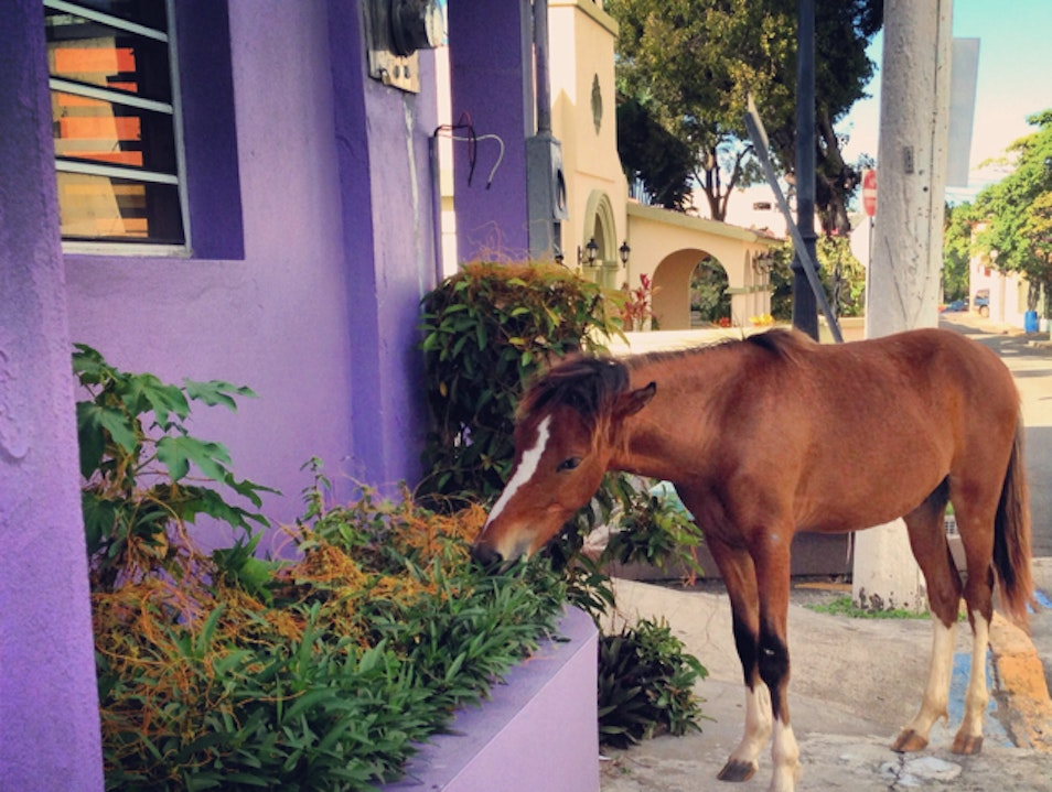 Vieques, where horses run the streets Vieques  Puerto Rico