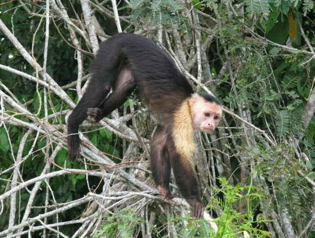 Tracking Capuchin Monkeys in Gamboa, Panama