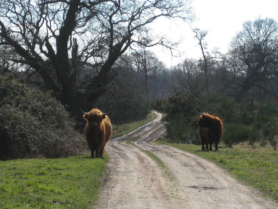 Hairy cows Guildford  United Kingdom