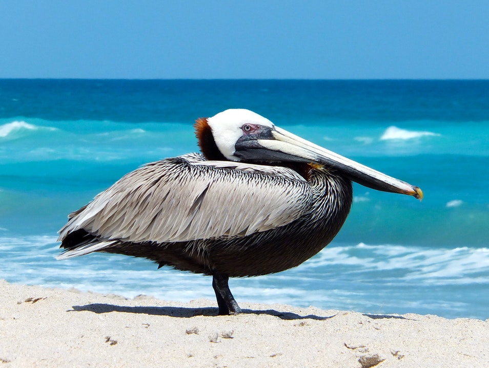Brown Pelican Sunning on the Beach