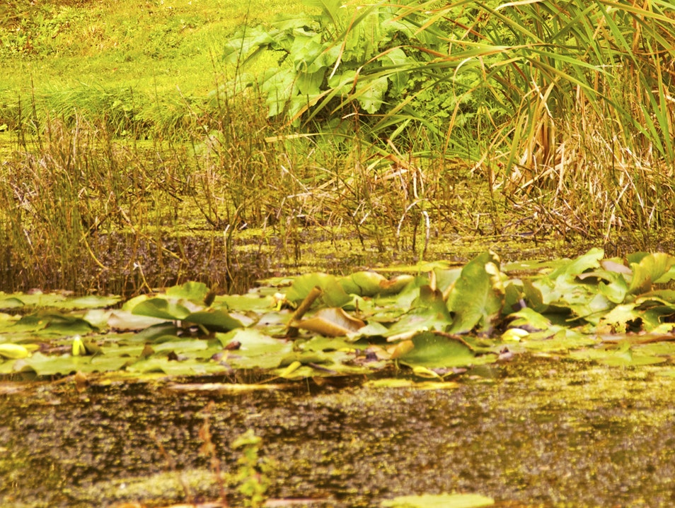 Oasis: Lily Pads on the Pond