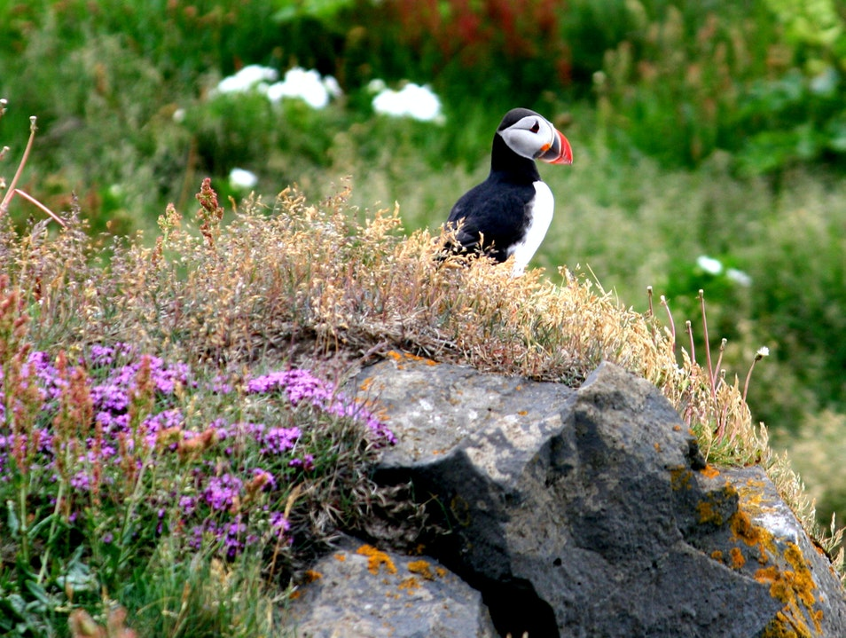 A lone puffin braving the winds at Dyrhólaey cliffs Vik  Iceland