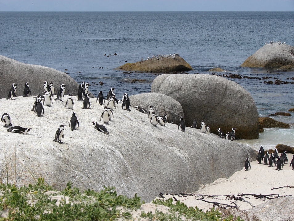 Watching Penguins at Boulders Beach Cape Town  South Africa