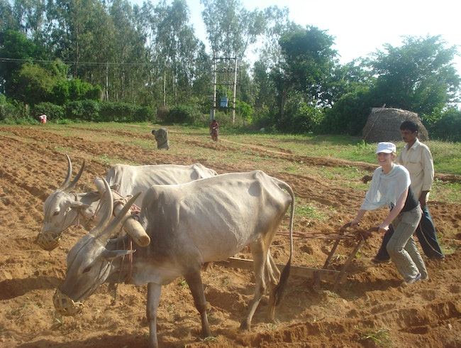 Plowing a field in India