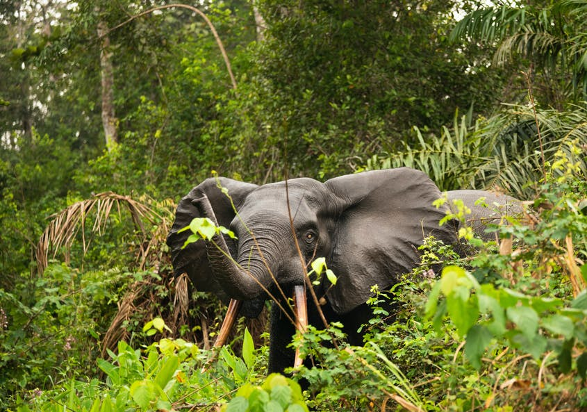 The forest elephant is smaller than the savanna elephant and has straighter tusks and rounder ears.