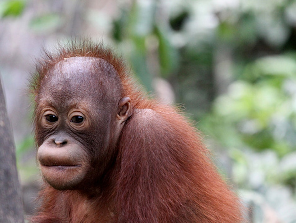 Orangutan Rehabilitation in Indonesia Central Kalimantan  Indonesia