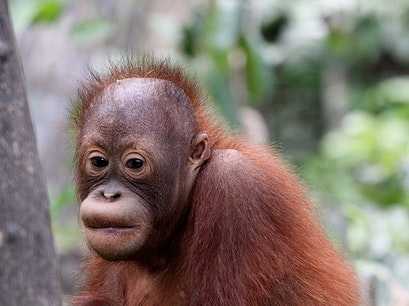 Orangutan Foundation Central Kalimantan  Indonesia