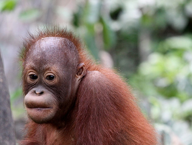 Orangutan Rehabilitation in Indonesia