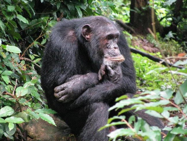 Following in the footsteps of Jane Goodall: Gombe's Chimpanzees