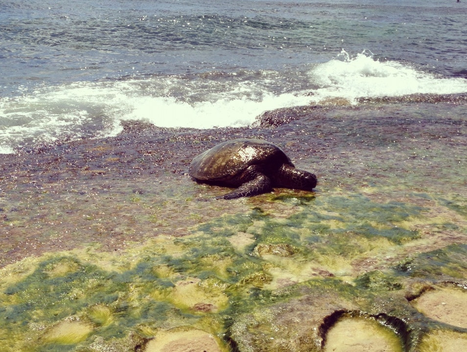 Turtle playing in the waves on O'ahu's north shore