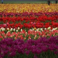 Wooden Shoe Tulip Farm Woodburn Oregon United States
