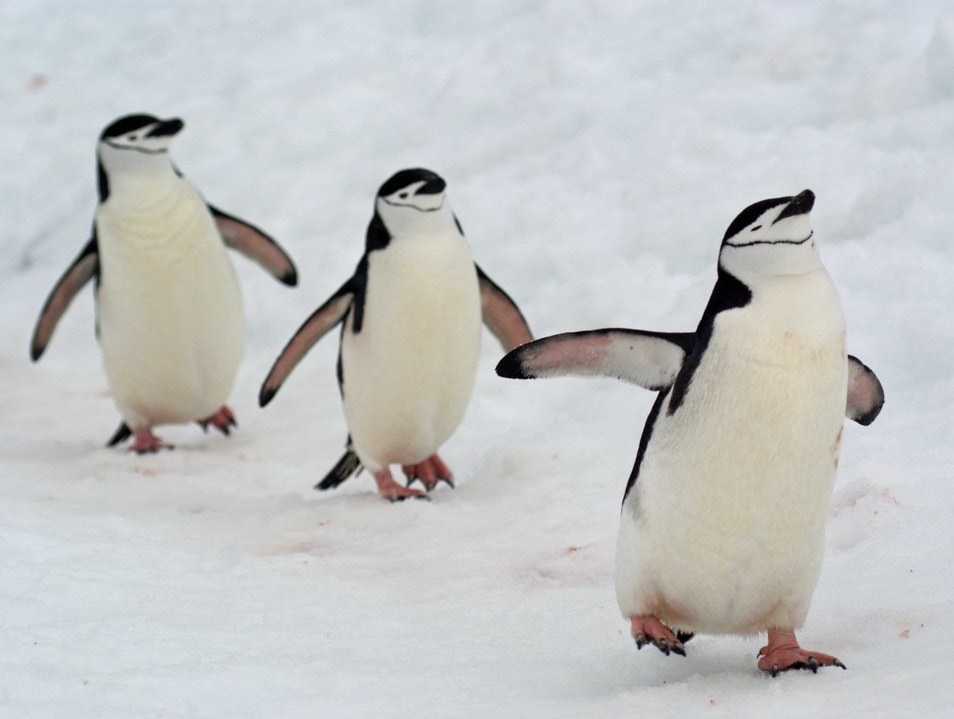 Penguins Marching in Antarctica
