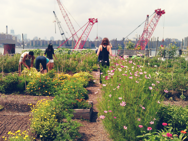 Rooftop farming in Greenpoint, Brooklyn