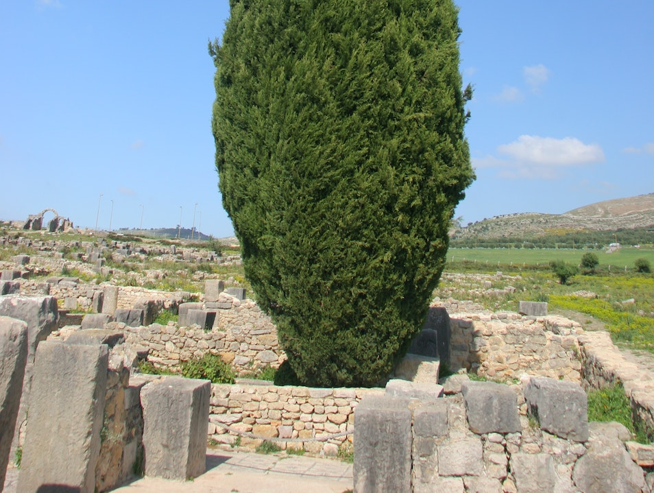 A  lone cedar tree acts as an ancient pillar. Meknes-El Menzeh  Morocco