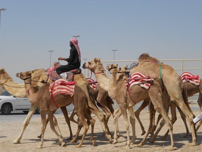 Witness a Camel Beauty Contest
