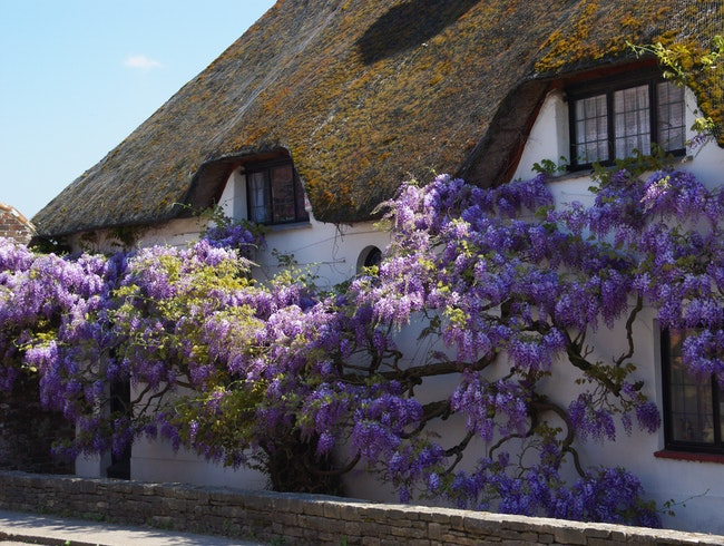 Wisteria Covered Cottages- Spring is Here