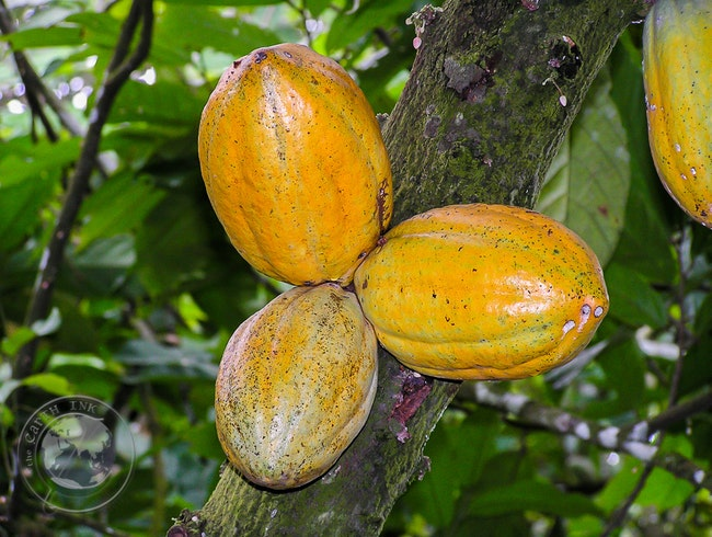Cacao in Cameroon