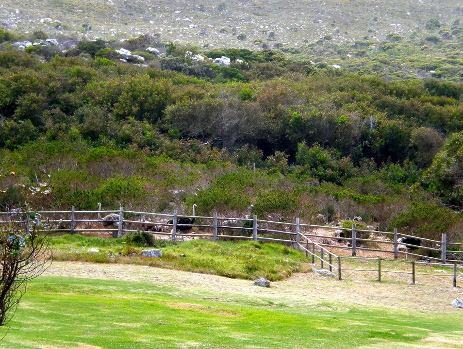 Visting the Ostriches at Cape Point Cape Town  South Africa