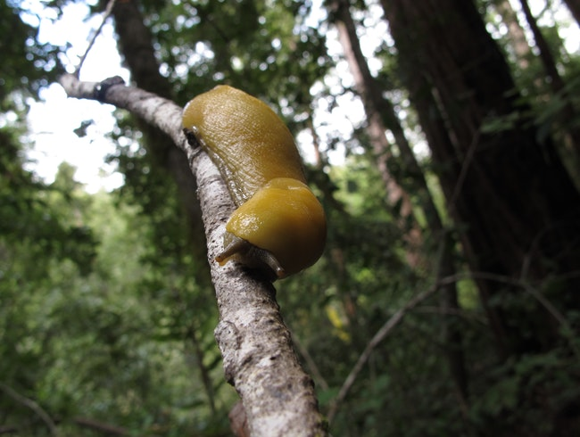 Slugs in the Redwood Forest