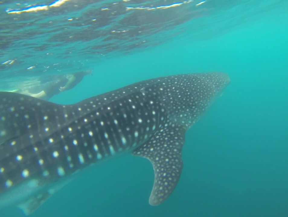 Swim With Whale Sharks in Baja California Sur La Paz  Mexico