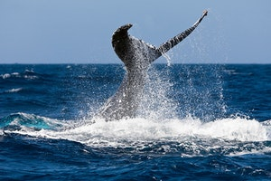 Whale-Watching in St. Lucia