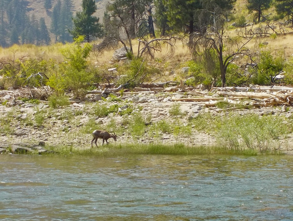 Wildlife along the Salmon River Salmon Idaho United States