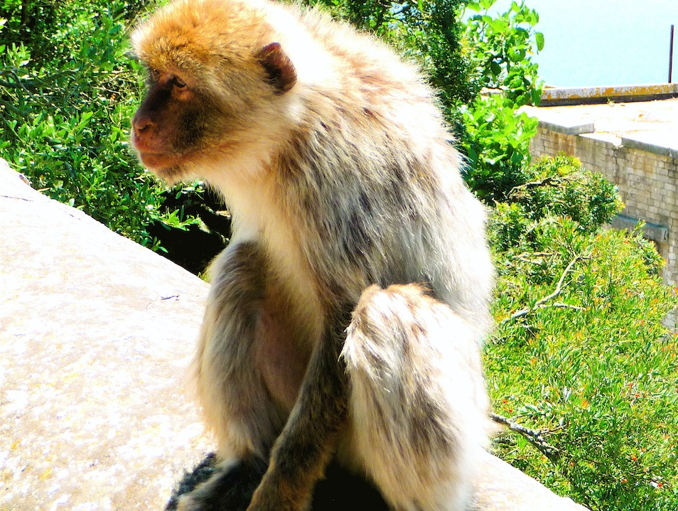 Monkeys sitting tall Gibraltar  Gibraltar