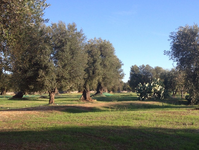 Olive Grove With History