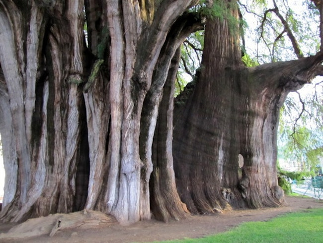 Widest Tree in the World