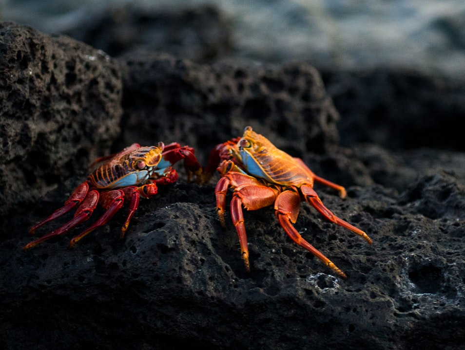 Catch a Crab Battle Galápagos Islands  Ecuador