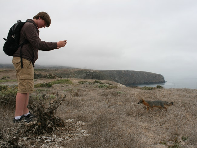 Friendly Fox of Santa Cruz Island