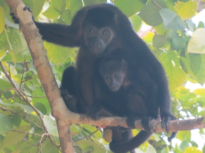 Howler Monkeys Guanacaste  Costa Rica