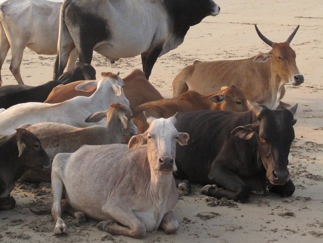 In India Cows go to the Beach to Watch the Sunset