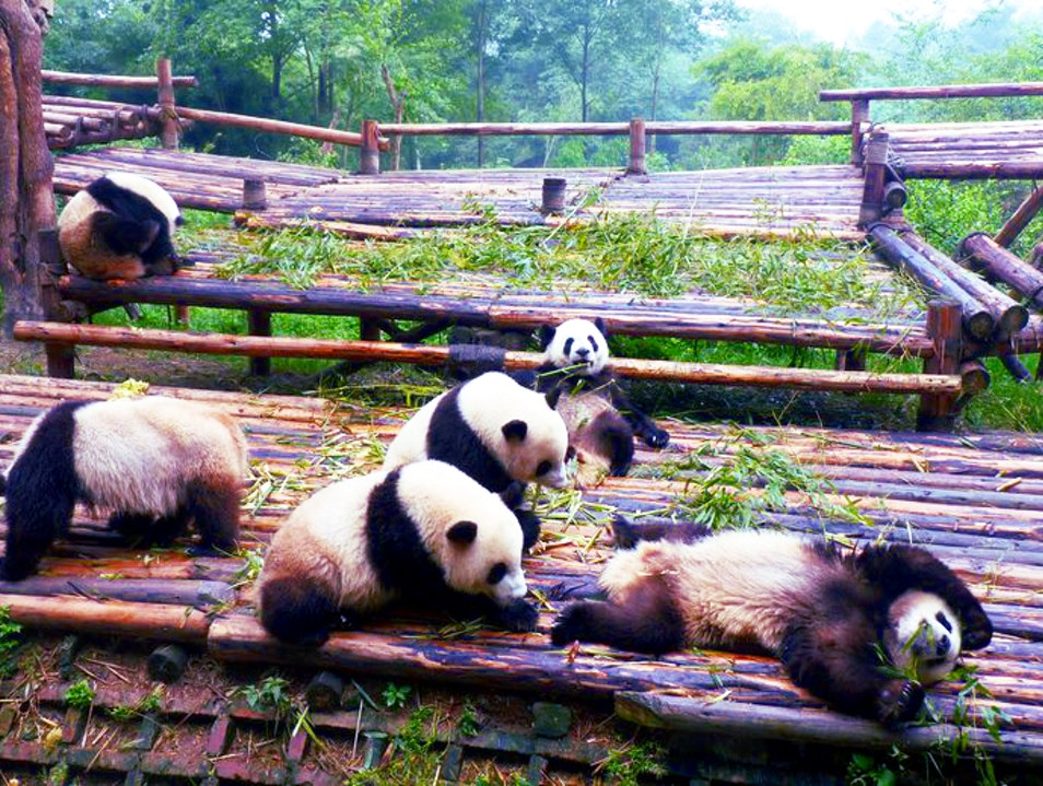 Seeing the Giant Pandas Chengdu  China