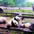 Chengdu Research Base of Giant Panda Breeding Chengdu  China