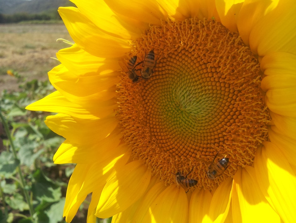 Up, close and personal with sunflowers...and bees