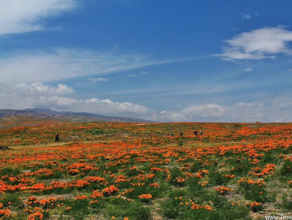 Frolicking in Poppy Fields Lancaster California United States