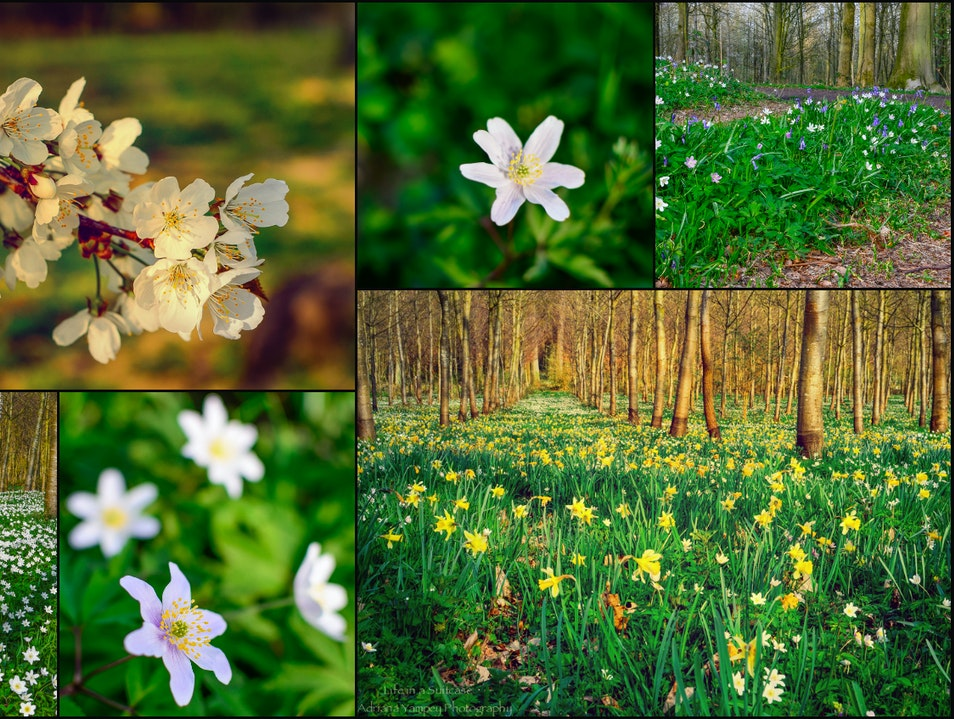 Spring in the forest  Le Roeulx  Belgium
