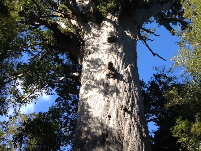 The Oldest Kauri Tree in the World