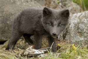 Arctic Fox Center