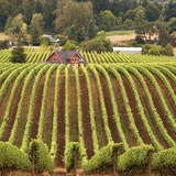 Vineyards near Newberg