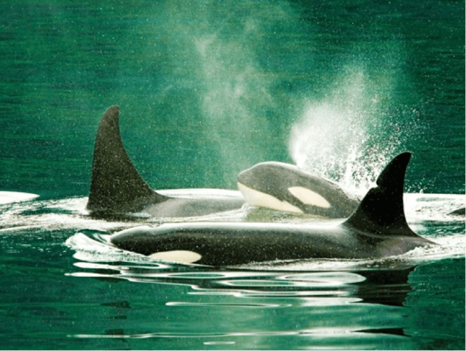 "Orca Encounters around the Alaskan ""Panhandle""   United States"