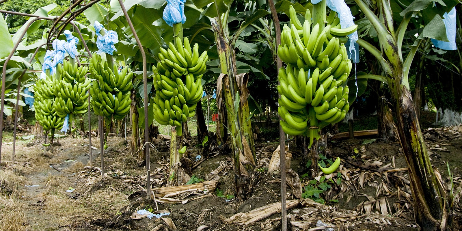 banana farming business plan