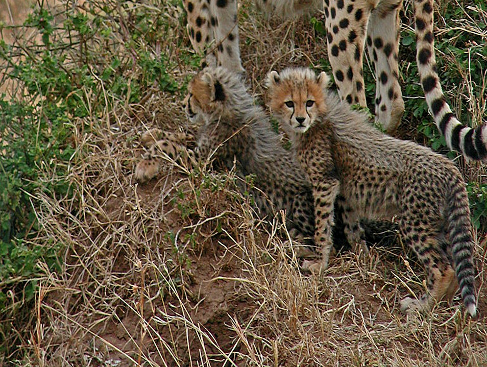 Cheetah Family Maasai Mara National Reserve  Kenya