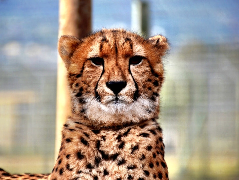 Play With Cheetahs in South Africa Cape Town  South Africa