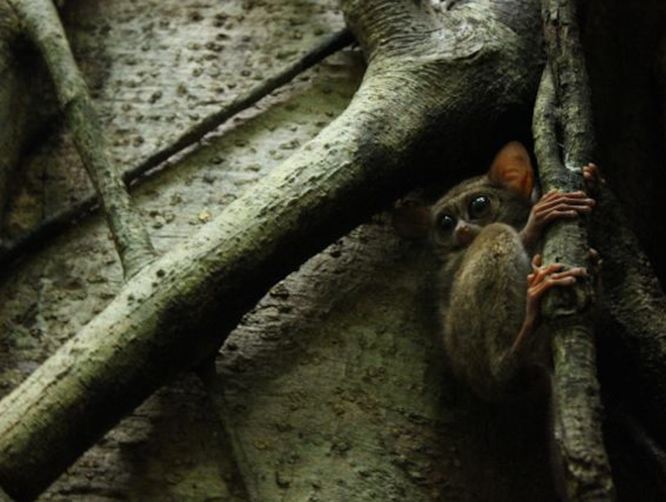 Dusk with Tarsiers Bitung  Indonesia